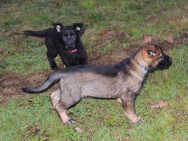Pink collar female and sable male