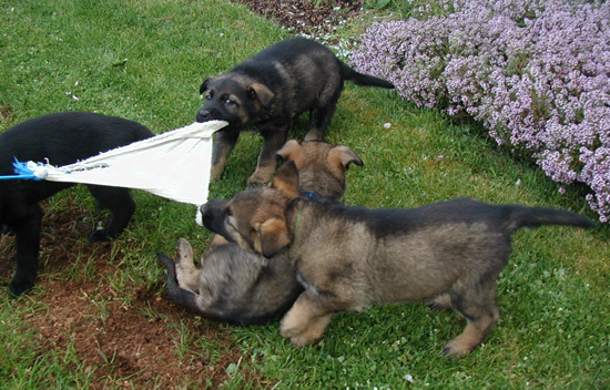 Norbo Odessa pups tug of war