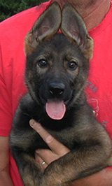 Y Litter Female Yulia 10.5 wks